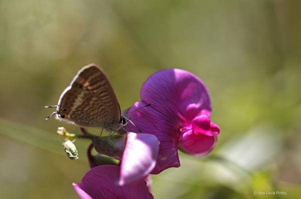sintra borboleta