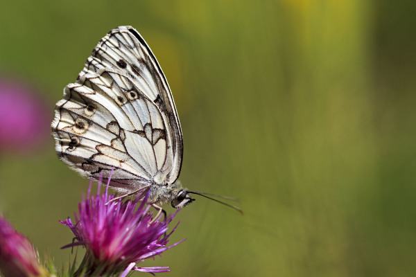 serraestrela borboleta covão-da-ametade