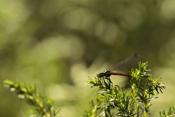 serraestrela  libelinha