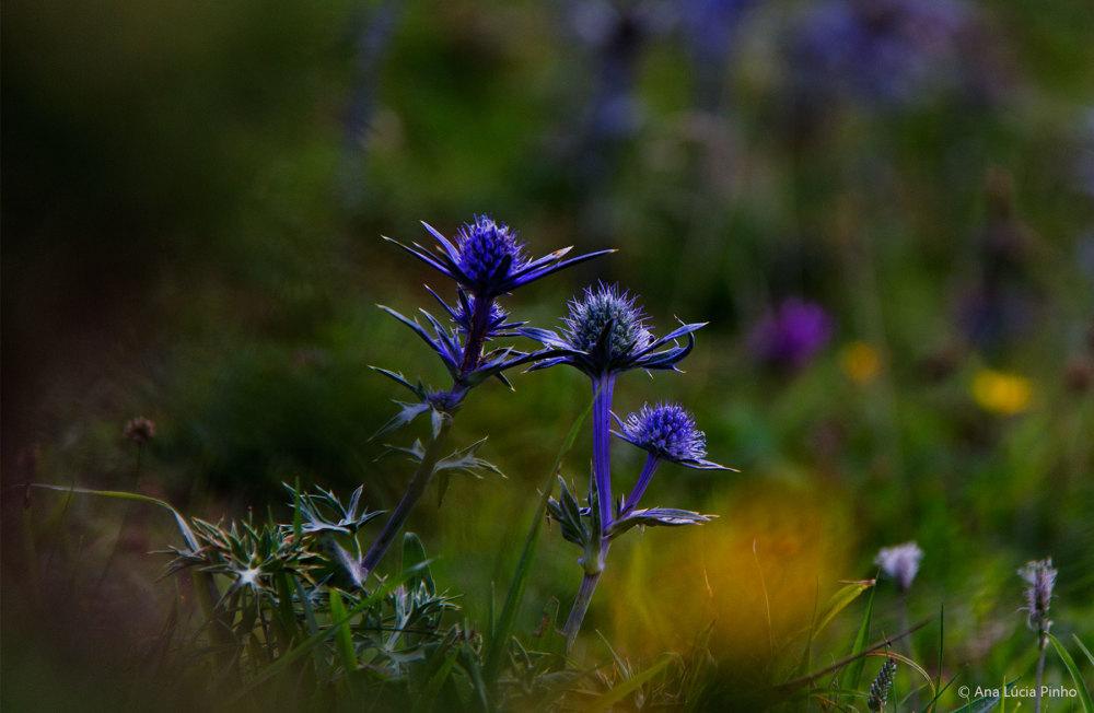 enol  espanha picos-da-europa flor