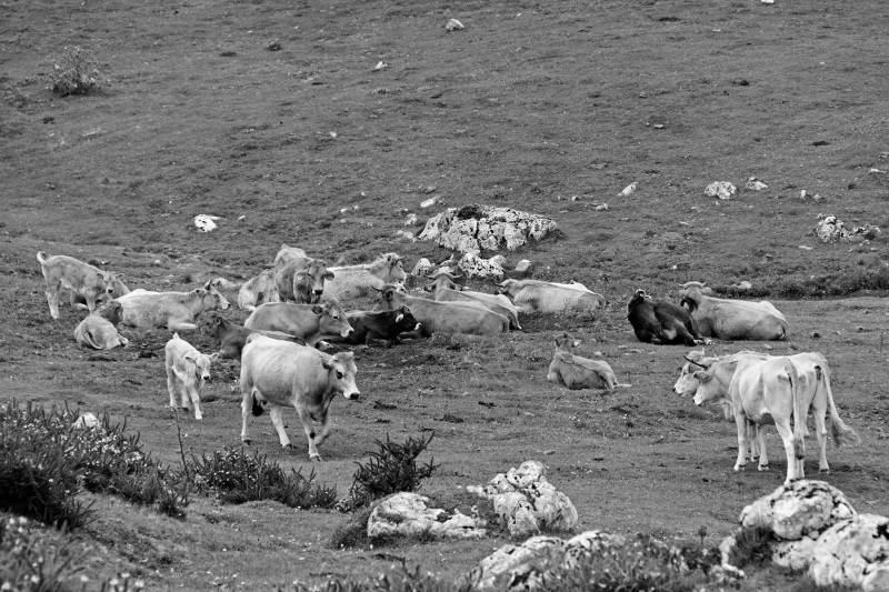 lago enol espanha picos-da-europa vaca