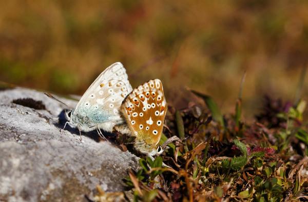picos-da-europa  Fuente-Dé borboleta