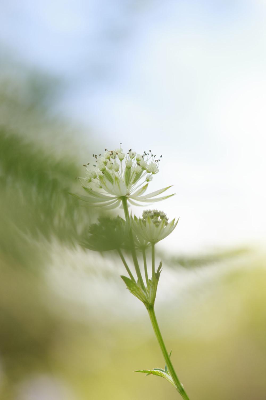 espanha picos-da-europa flor