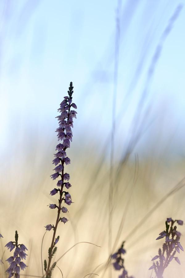 lousã santoantóniodaneve outono flor Erica