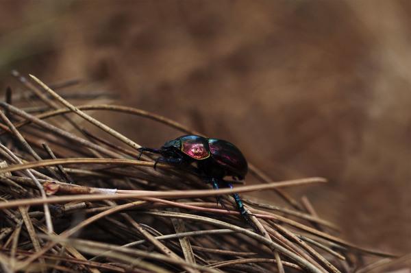 lousã insecto coleoptero
