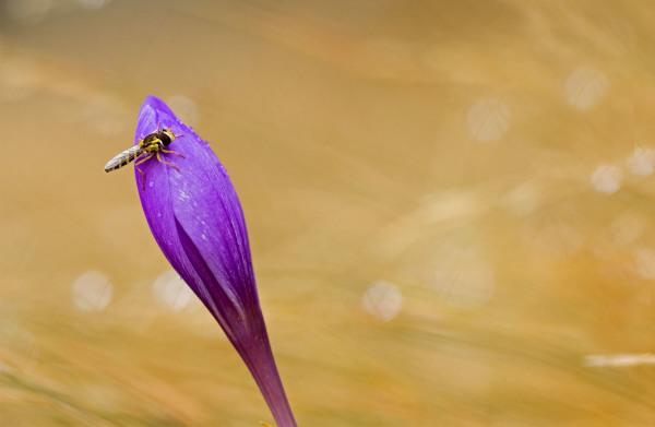 lousã outono  santoantoniodaneve açafrão insecto