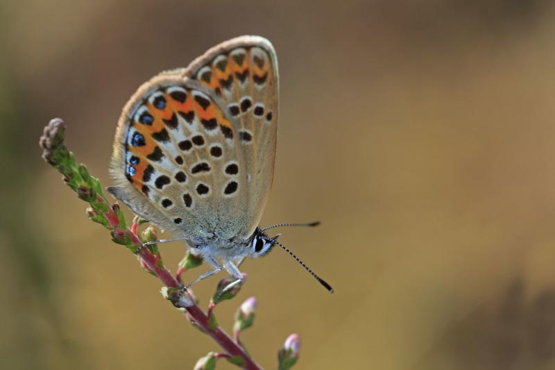 serraestrela borboleta  verão