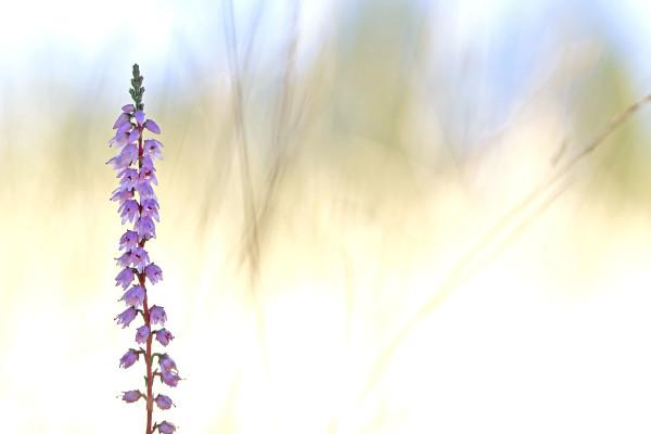 lousã outono santoantóniodaneve flor Erica