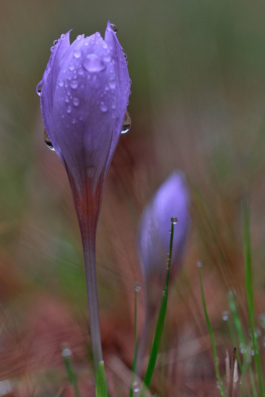 alvão  outono flor açafrão