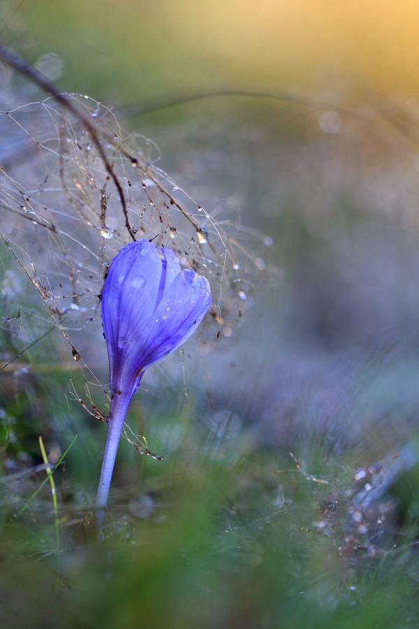 alvão nevoeiro outono orvalho gotas açafrão flor