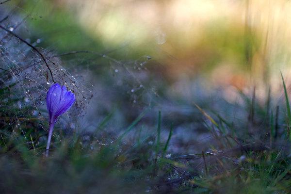 alvão  outono flor açafrão gotas orvalho