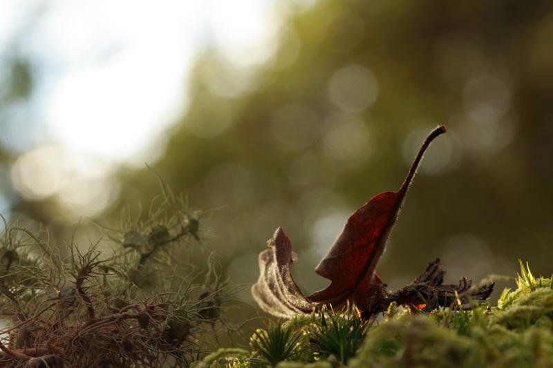 caramulo outono penoita folhas