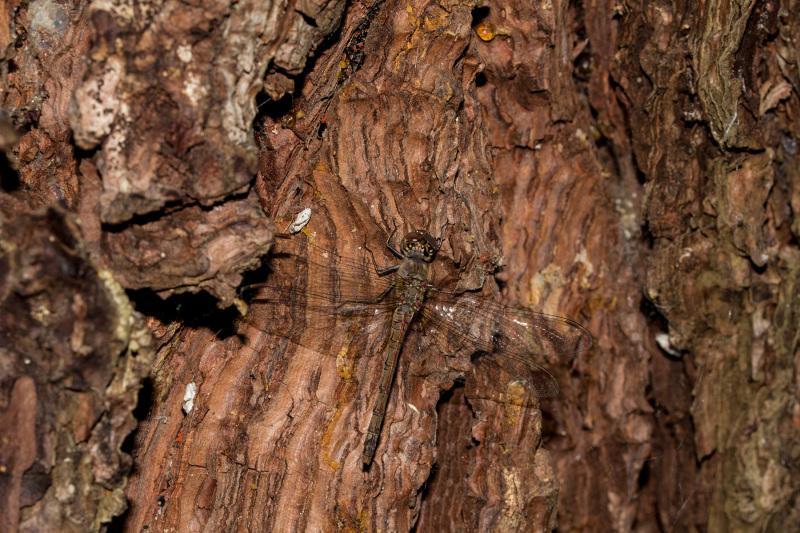 caramulo outono libélula
