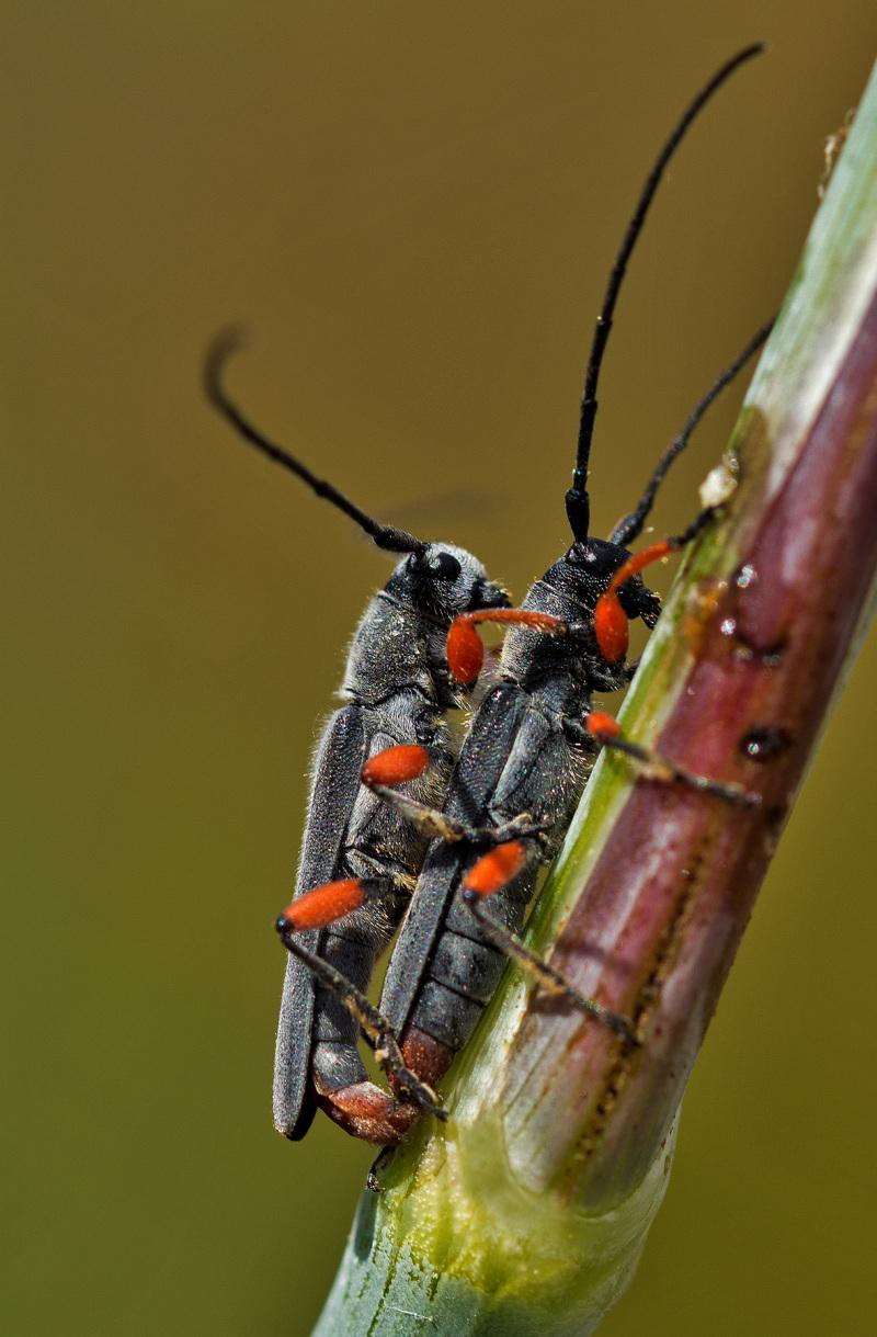 proença-a-nova insecto coleoptero