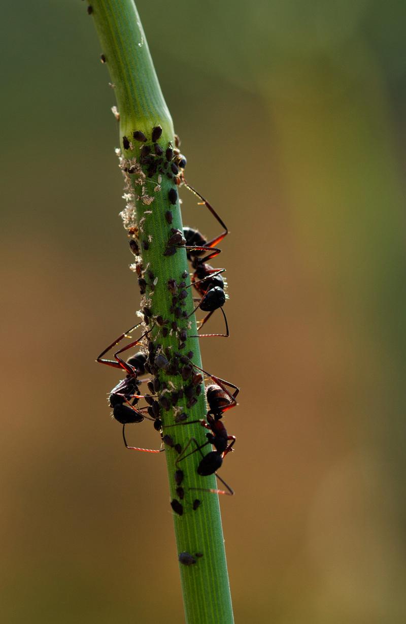 proença-a-nova insecto formiga pulgão