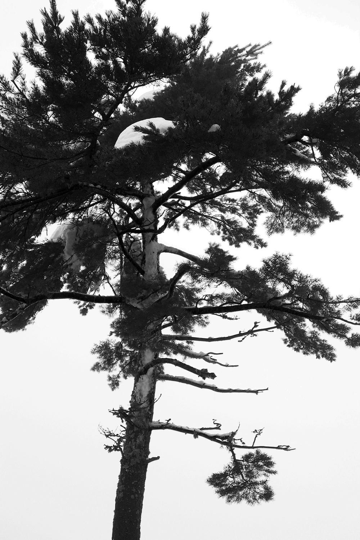 serraestrela inverno neve arvore pinheiro