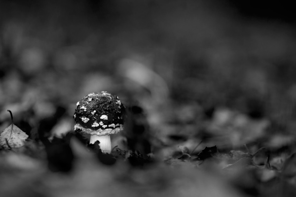 alvão outono cogumelo Amanita-muscaria