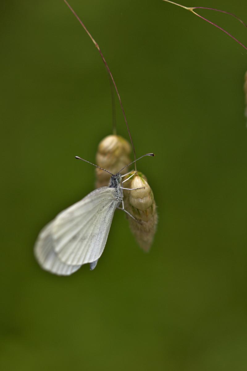 proença-a-nova borboleta