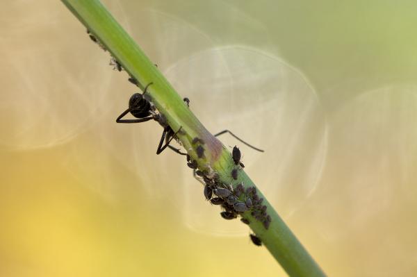 proença-a-nova formiga pulgão