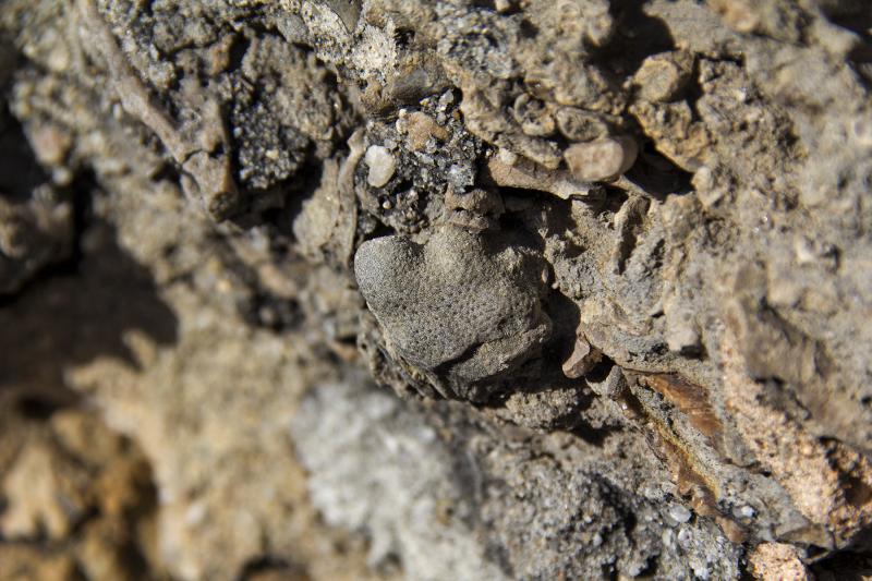 fóssil praia consolação lourinhã