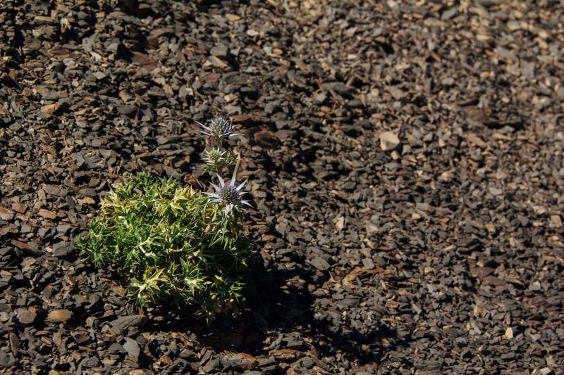 picos-da-europa flor rocha fuente-dé espanha