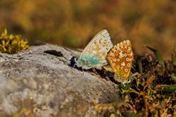 picos-da-europa fuente-dé espanha borboleta