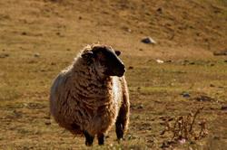 picos-da-europa fuente-dé espanha ovelha