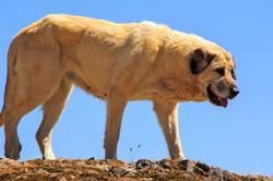 picos-da-europa fuente-dé espanha cão