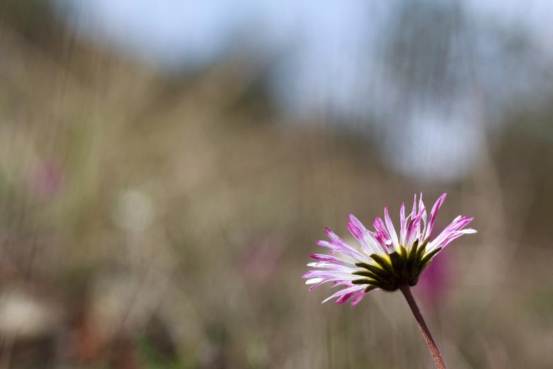 pnsac flor margarida