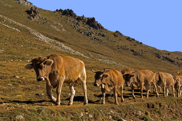 picos-da-europa fuente-dé espanha vaca