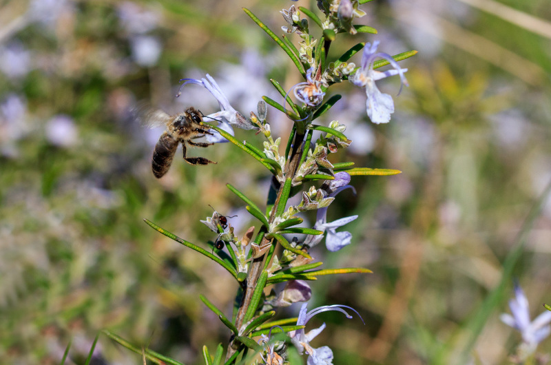 pnsac flor abelha formiga primavera alecrim