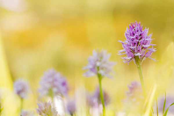 pnsac flor orquídea