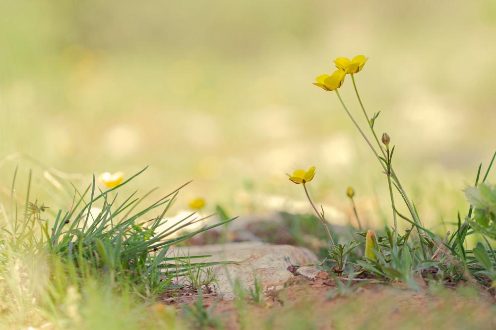 pnsac flor ranúnculo