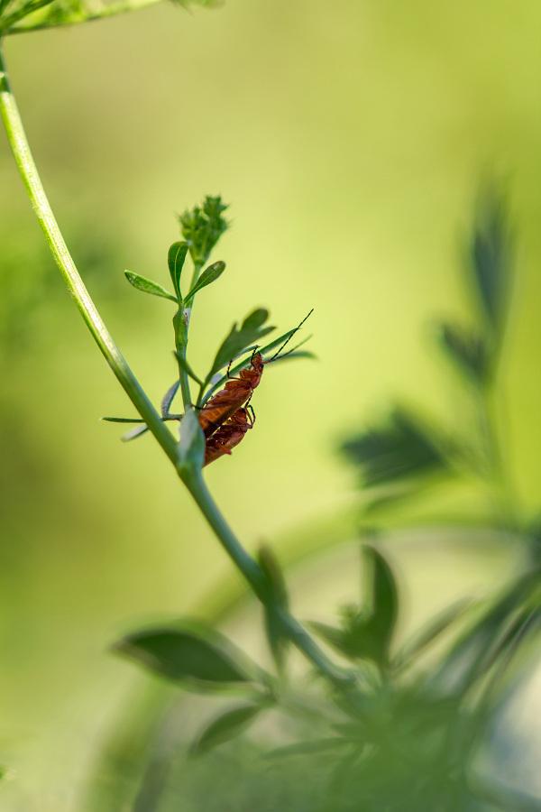 coimbra coleoptero