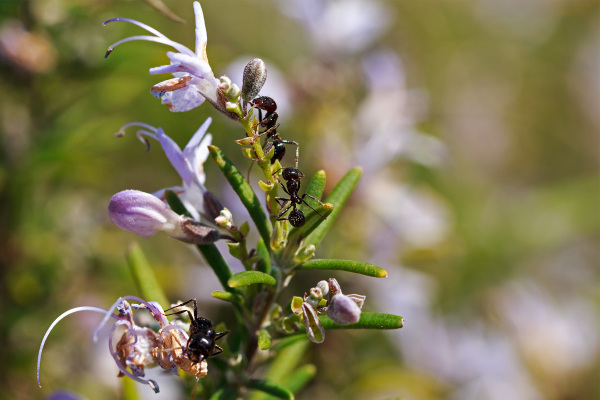 pnsac formiga insecto alecrim