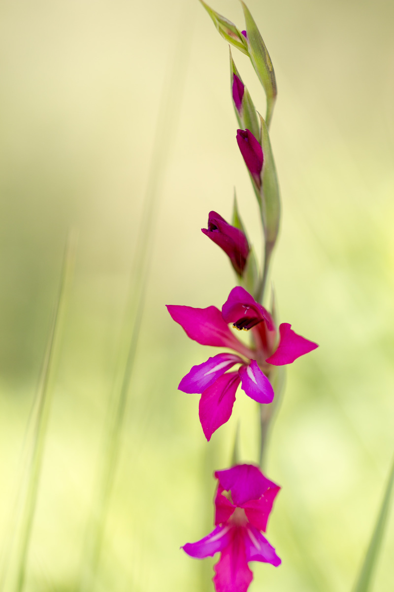 pnsac flor gladiolo