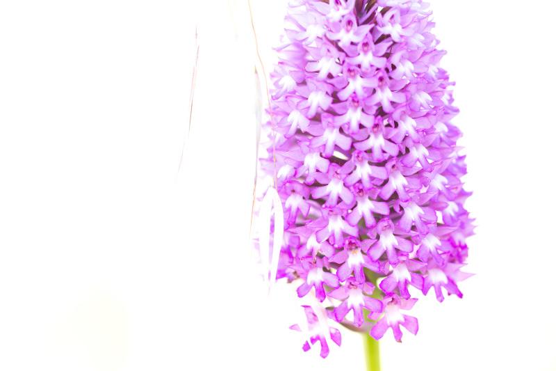 pnsac flor orquidea high-key