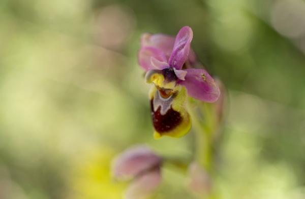 pnsac flor orquidea