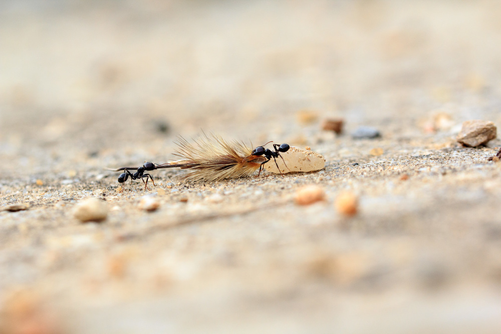 pnsac formiga insecto