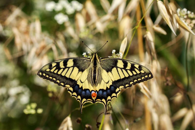 borboleta cauda-de-andorinha