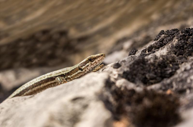 picos-da-europa espanha lagartixa