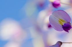 Árvore lilás japonesa
