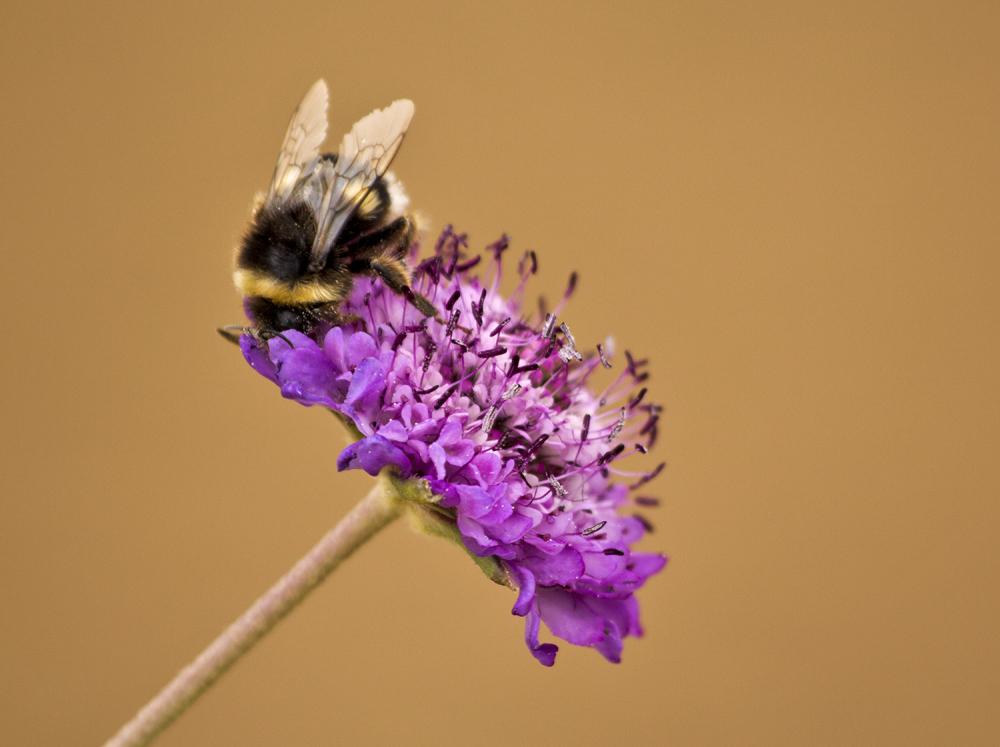 abelha insecto salgado