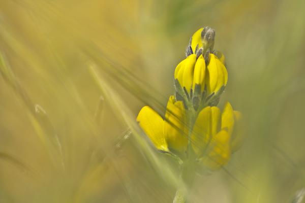 Alfeizerão flor