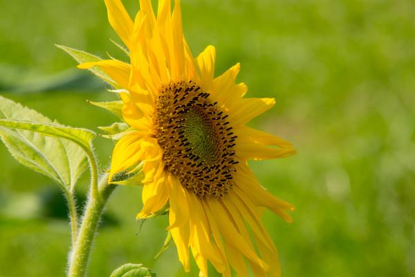 espanha flor girassol País-Basco