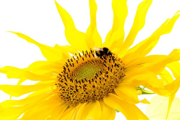 espanha flor girassol País-Basco abelha