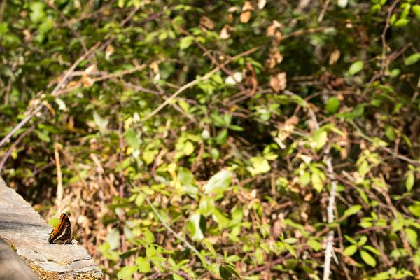 borboleta serra-do-açor