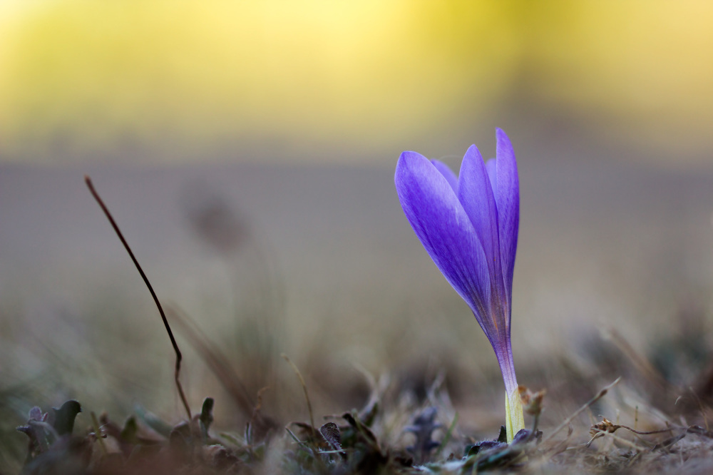 lousã santoantóniodaneve outono flor açafrão