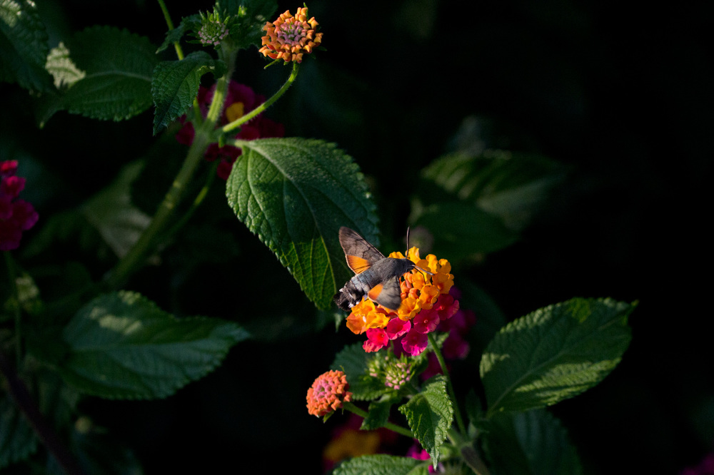 leiria borboleta borboleta-nocturna