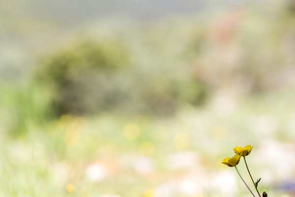 flor pnsac amarelo ranúnculo